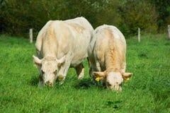 Белые коровы Стоковые Изображения RF