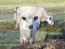 Белые коровы Galloway Стоковые Фото