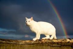 Белые кот и радуга Стоковая Фотография RF