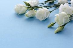 Белые красивые цветки eustoma на голубой предпосылке Стоковое Изображение RF