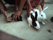 белые кролики ждут их еду стоковое фото rf