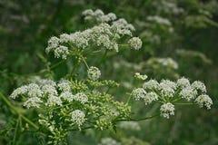 Белые кружевные цветки goutweed стоковая фотография