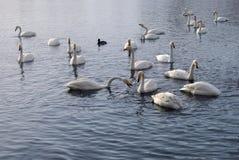 Белые лебеди на воде озера Стоковые Фото