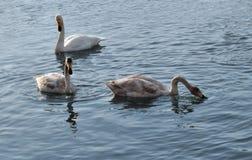 Белые лебеди на воде озера Стоковая Фотография