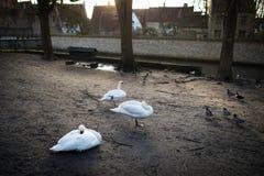 Белые лебеди на малой городской местности Винтажные здания на прогулке стоковое фото rf