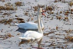Белые лебеди плавают в чащах травы ` s last year на озере Стоковые Фотографии RF