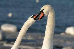 Белые лебеди Стоковое Изображение