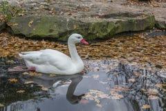 Белые лебедь/гусыня в пруде осени с листьями желтого цвета и красивым отражением Стоковое Изображение RF