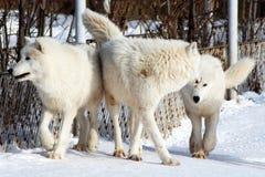 Белые ледовитые волки в зиме Стоковое Изображение