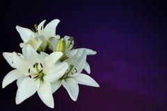 Белые лилии на пурпуровой предпосылке Стоковое фото RF
