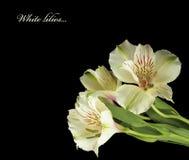 Белые лилии с падениями воды. Стоковая Фотография