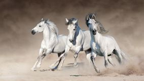 Белые лошади бегут галоп стоковое изображение rf