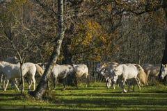 Белые лошади замедляют сезон осени прогулки Стоковые Изображения RF