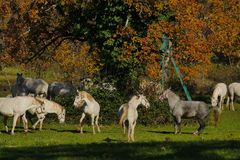 Белые лошади играя вокруг в полях осени Стоковые Изображения