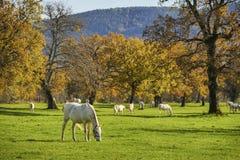 Белые лошади перед группой в составе лошади в осени Стоковые Фото