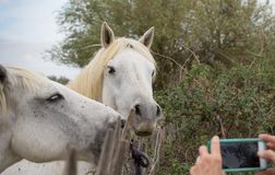Белые лошади представляя для изображения стоковое изображение