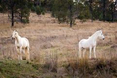 Белые лошади Стоковые Изображения RF