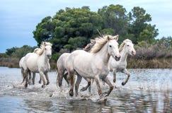 Белые лошади Camargue скакать через воду стоковые фотографии rf