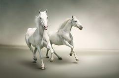 Белые лошади Стоковые Фотографии RF