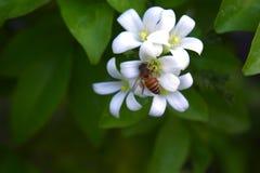 Белые маленькие цветки kamini Стоковое фото RF