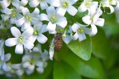 Белые маленькие цветки kamini Стоковое Изображение RF