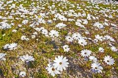 Белые маргаритки в поле, Южной Африке Стоковые Фото