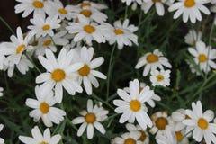 Белые маргаритки в graden Стоковое Фото