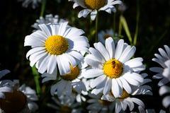 Белые маргаритки и пчела стоковые изображения rf