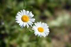 Белые маргаритки на предпосылке зеленой травы Стоковое Изображение RF