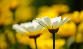 Белые маргаритки с желтой предпосылкой Стоковое Фото