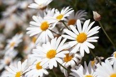 Белые маргаритки Стоковая Фотография