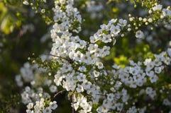 Белые небольшие цветки цвести herbaceous arguta Spiraea кустарника spirea, или Bridal венок стоковое изображение