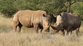 Белые носороги в естественной среде обитания видеоматериал