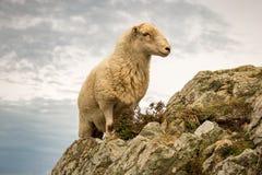 Белые овцы взбираясь утес в Уэльсе Стоковое Изображение RF