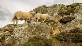 Белые овцы взбираясь утес в Уэльсе Стоковое Изображение