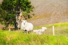 Белые овцы на зеленой траве в горах Исландия стоковые фото