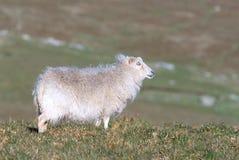 Белые овцы Стоковые Изображения RF