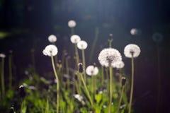 Белые одуванчики в траве стоковые фотографии rf