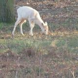 Белые олени стоковые фото
