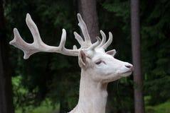 Белые олени Стоковые Изображения