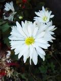 Белые ослеплять цветки стоковое фото