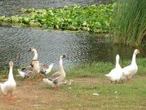Белые отечественные гусыни идут около пруда с лилиями воды стоковая фотография