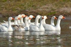 Белые отечественные гусыни на воде Стоковые Фотографии RF
