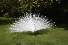 Белые павлины в саде стоковое изображение
