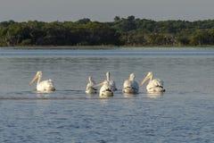 Белые пеликаны загорая в реке стоковое фото