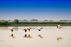 Белые пеликаны летая (onocrotalus Pelecanus) в Ro перепада Дуная стоковое фото