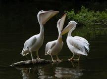 Белые пеликаны, птицы на темной воде, среде обитания природы, сцене живой природы стоковая фотография