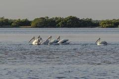 Белые пеликаны удя в реке стоковое фото