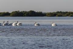 Белые пеликаны удя в реке стоковые фотографии rf