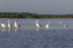 Белые пеликаны удя в реке стоковое изображение rf